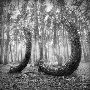 BW-079 - Crooked Forest