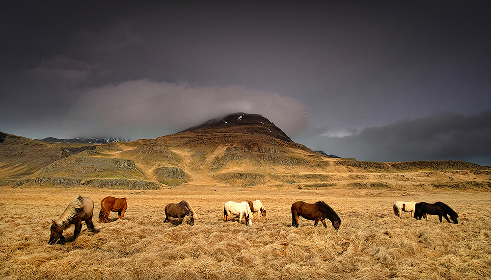 """Icelandic Mustangs"" - Iceland"