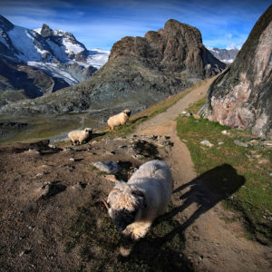 SQR14 - Gornergrat - Black Sheep