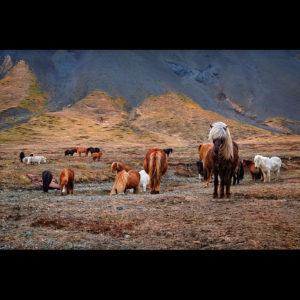 Iceland - Icelandic Horses 03