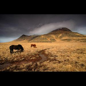 Iceland - Icelandic Horses 01