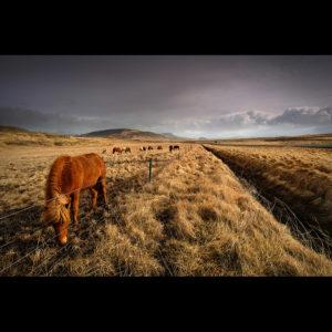 Iceland - Icelandic Horses 02